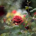 花菜ガーデン【春バラ:チョコレート・プリンス】3