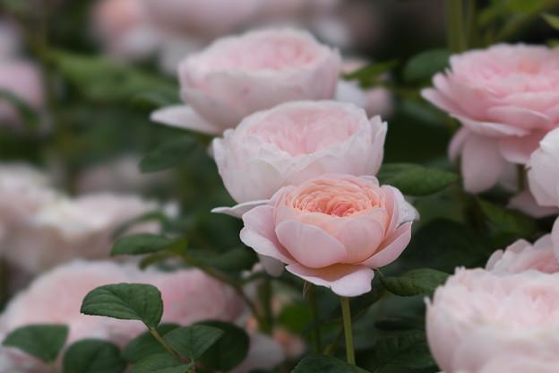 花菜ガーデン【春バラ:クィーン・オブ・スウェーデン】2