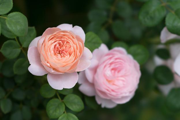 花菜ガーデン【春バラ:クィーン・オブ・スウェーデン】3