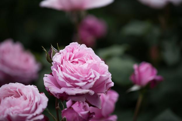 花菜ガーデン【春バラ:シャンテ・ロゼ・ミサト】4