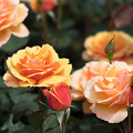 Photos: 花菜ガーデン【春バラ:アバウト・フェイス】
