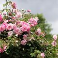 Photos: 花菜ガーデン【春バラ:スパニッシュビューティ】