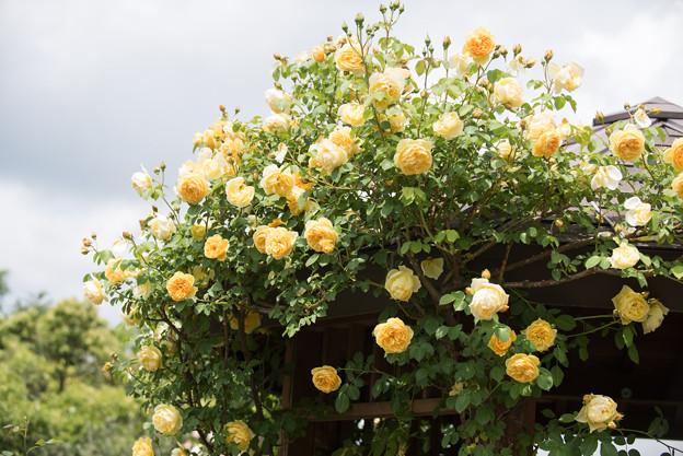 花菜ガーデン【春バラ:グラハム・トーマス】