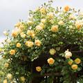 Photos: 花菜ガーデン【春バラ:グラハム・トーマス】