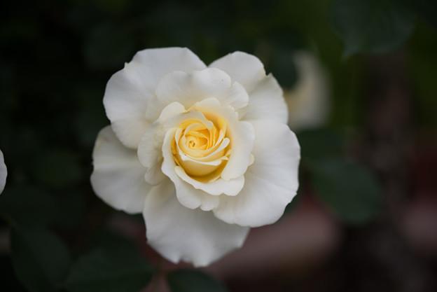 花菜ガーデン【春バラ:和音】2