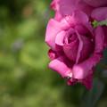 Photos: 花菜ガーデン【春バラ:ブルー・パフューム】