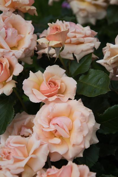 花菜ガーデン【春バラ:楽園】