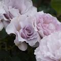 花菜ガーデン【春バラ:ニュー・ウェーブ】1