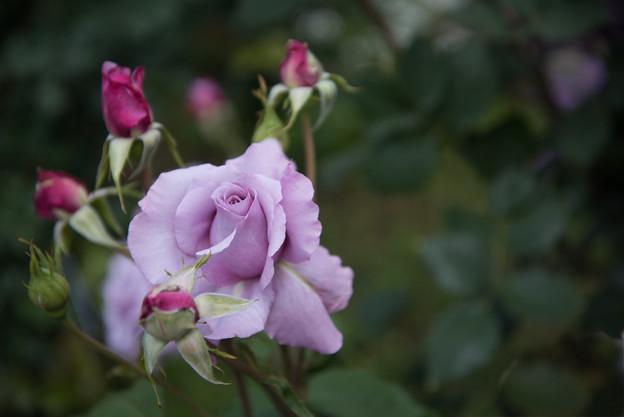花菜ガーデン【春バラ:シークレット・パフューム】