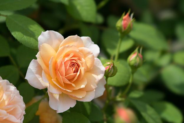 花菜ガーデン【春バラ:グレイス】