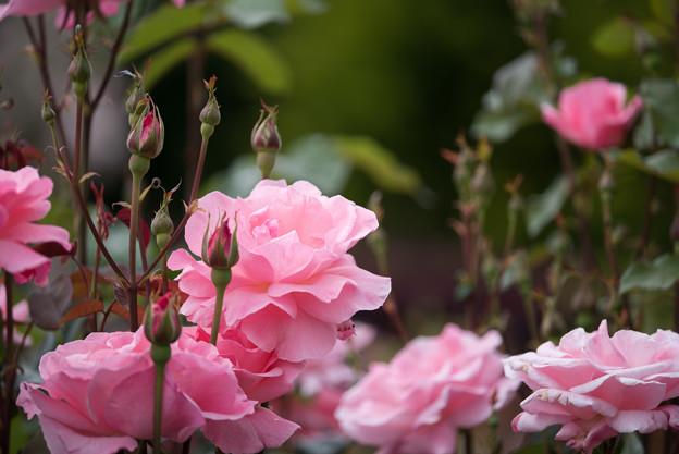 花菜ガーデン【春バラ:クイーン・エリザベス】