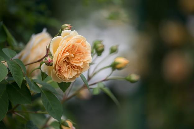 花菜ガーデン【春バラ:ティージング・ジョージア】