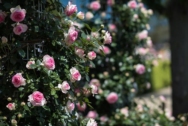 生田緑地ばら苑【春バラ:ピエール・ドゥ・ロンサール】3