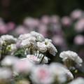 Photos: 生田緑地ばら苑【春バラ:ピンク・シフォン】