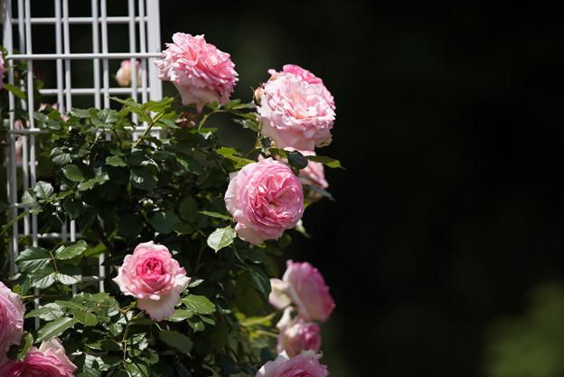 生田緑地ばら苑【春バラ:ミラマーレ】