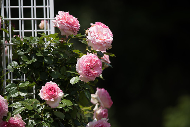 Photos: 生田緑地ばら苑【春バラ:ミラマーレ】