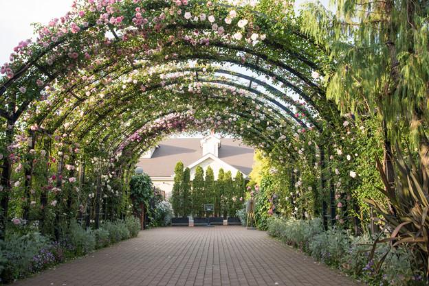 YEG【春バラ:ローズトンネルの眺め】1