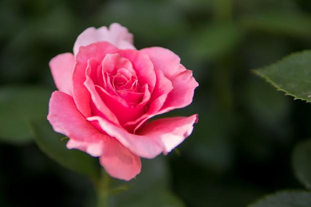 YEG【春バラ:ティクレッド・ピンク】2