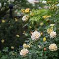 Photos: YEG【春バラ:トロピカル・シャーベット】