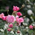 Photos: YEG【春バラ:レディ・エアムール】
