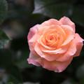 YEG【春バラ:デイ・ブレイカー】