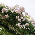 YEG【春バラ:ローラ・ダヴォー】