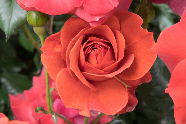YEG【春バラ:ホット・チョコレート】