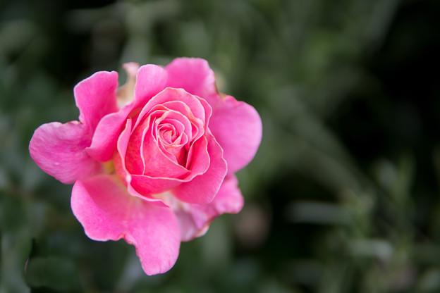 YEG【春バラ:オードリー・ウィルコックス】