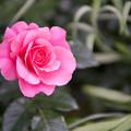 Photos: YEG【春バラ:アンヌ・ビルンハク】
