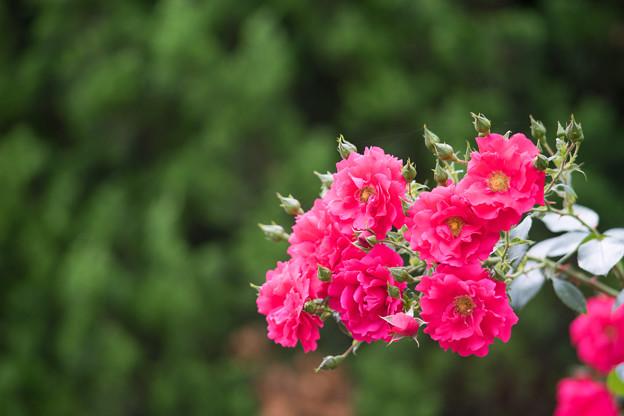 神代植物公園【春バラ:トラディション'95】2
