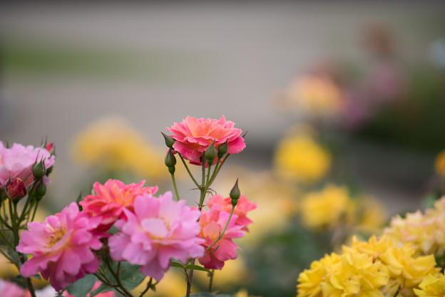 神代植物公園【春バラ:ファンファーレ】1