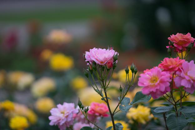 神代植物公園【春バラ:ファンファーレ】2