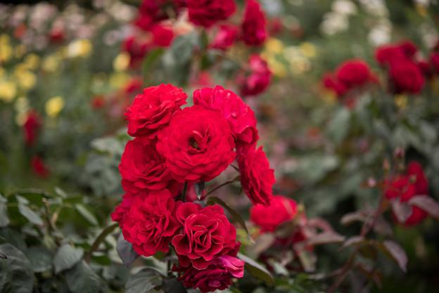 神代植物公園【春バラ:ユーロピアーナ】3