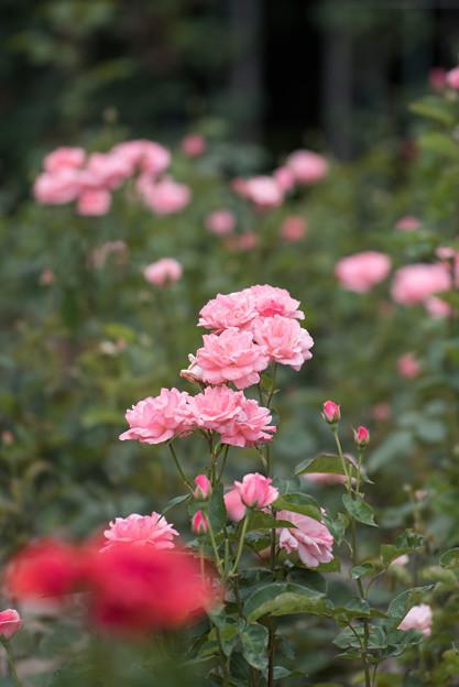神代植物公園【春バラ:クイーン・エリザベス】1
