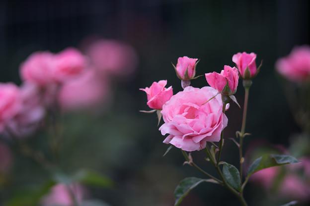 神代植物公園【春バラ:クイーン・エリザベス】3