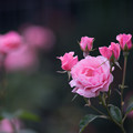 Photos: 神代植物公園【春バラ:クイーン・エリザベス】3