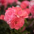 Photos: 神代植物公園【春バラ:シャルダン・ドゥ・フランス】3
