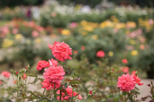 Photos: 神代植物公園【春バラ:ポリネシアン・サンセット】1