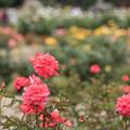 神代植物公園【春バラ:ポリネシアン・サンセット】1