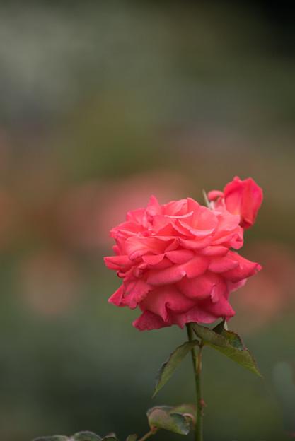 神代植物公園【春バラ:ポリネシアン・サンセット】2