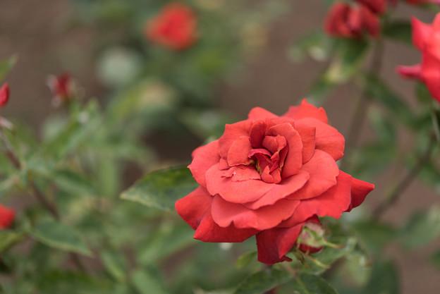 神代植物公園【春バラ:ブラック・ティー】