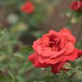 Photos: 神代植物公園【春バラ:ブラック・ティー】