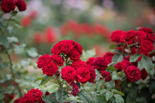 神代植物公園【春バラ:ラバグルート】