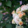 神代植物公園【春バラ:エメラルド・アイル】
