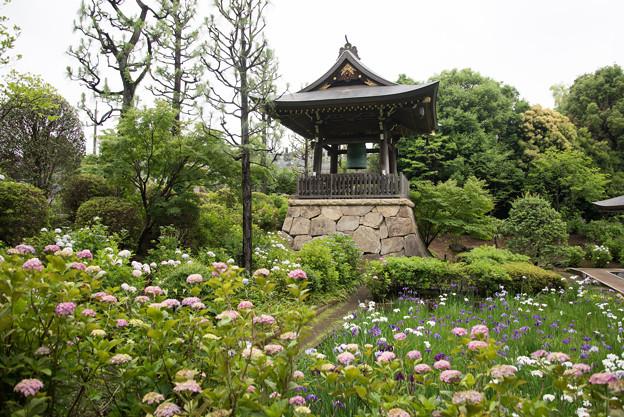 正覚寺【紫陽花と鐘楼】