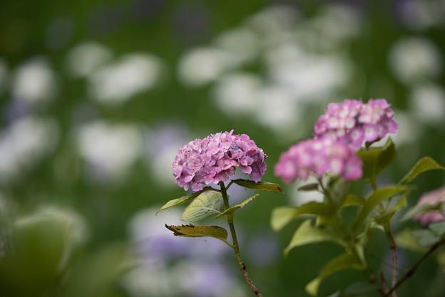 正覚寺【紫陽花】2