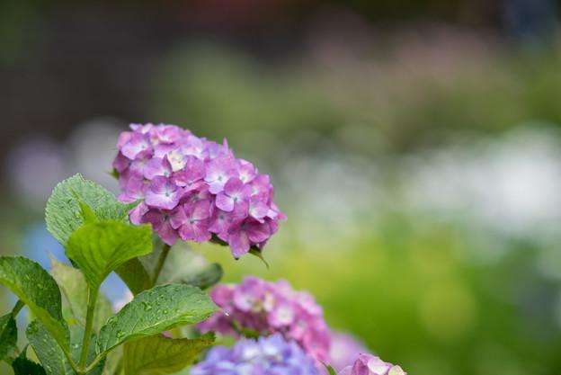 正覚寺【紫陽花】6
