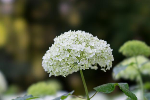 相模原北公園【紫陽花: アナベル】5