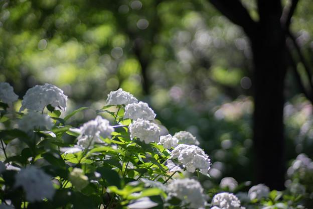相模原北公園【紫陽花: インマクラータ】5