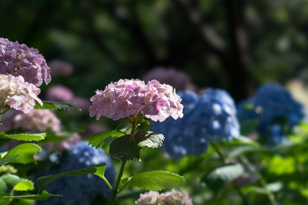 相模原北公園【紫陽花: 西洋アジサイ(赤)】8